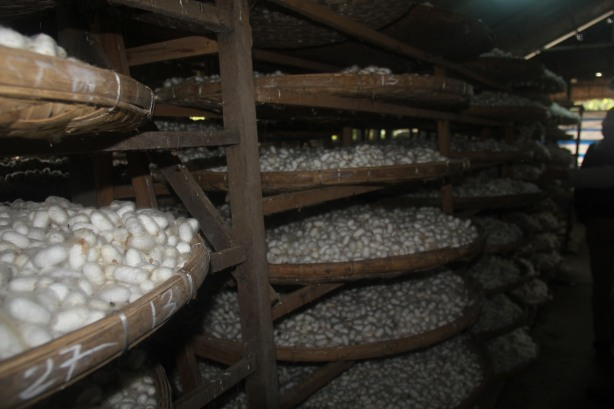 Thousands of silk worm cocoons waiting to be processed